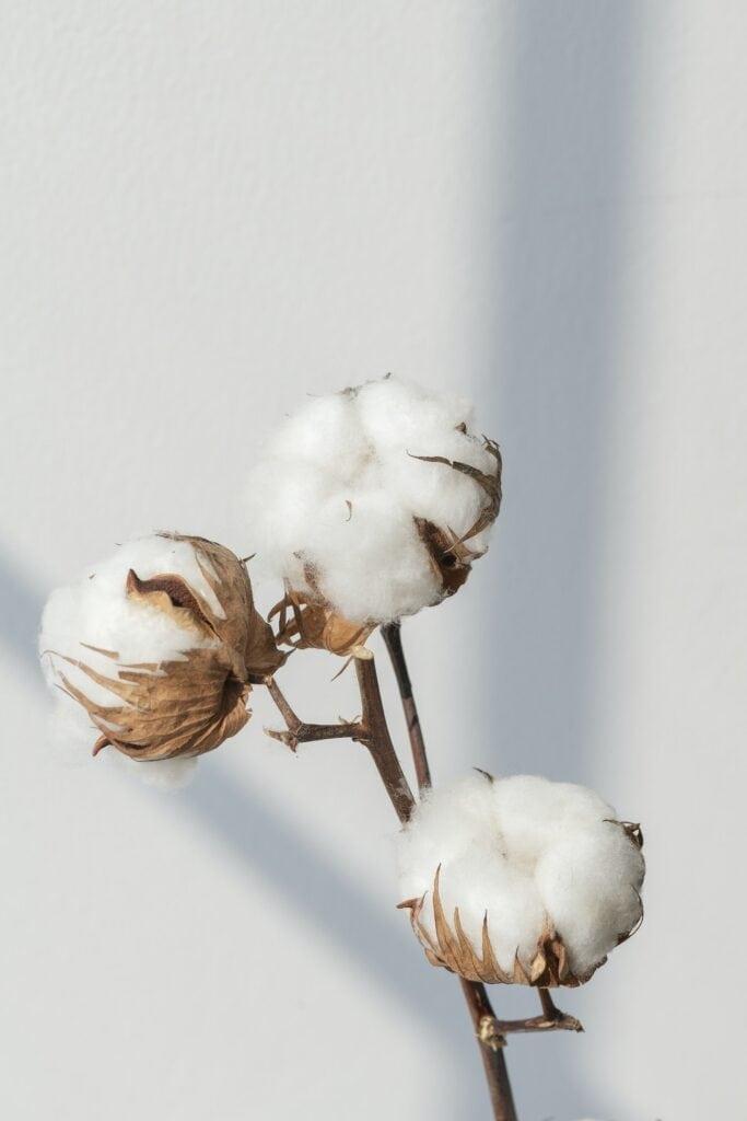 a cotton blossom