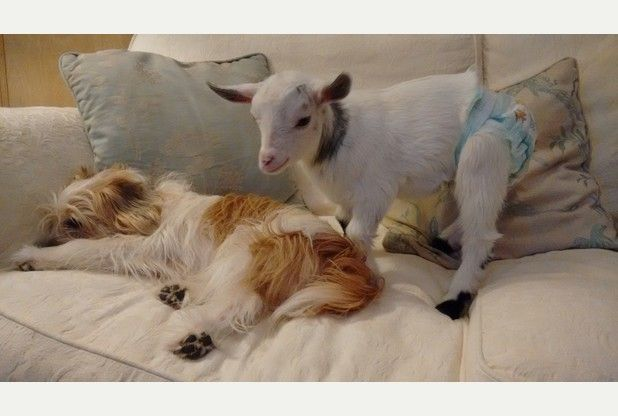 dog and goat on sofa (goat wearing a blue diaper)