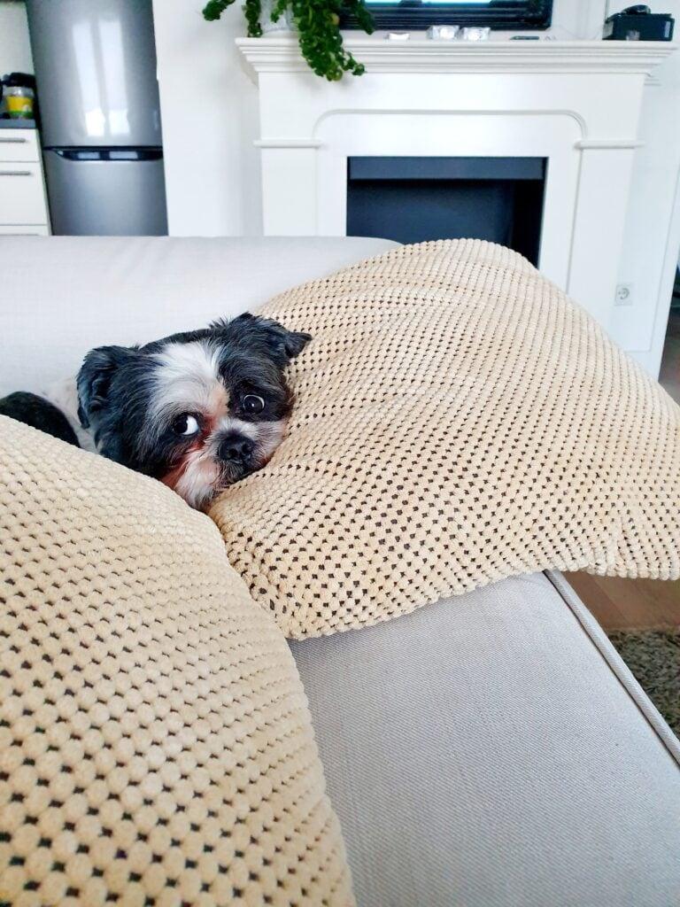puppy on sofa hiding under pillows